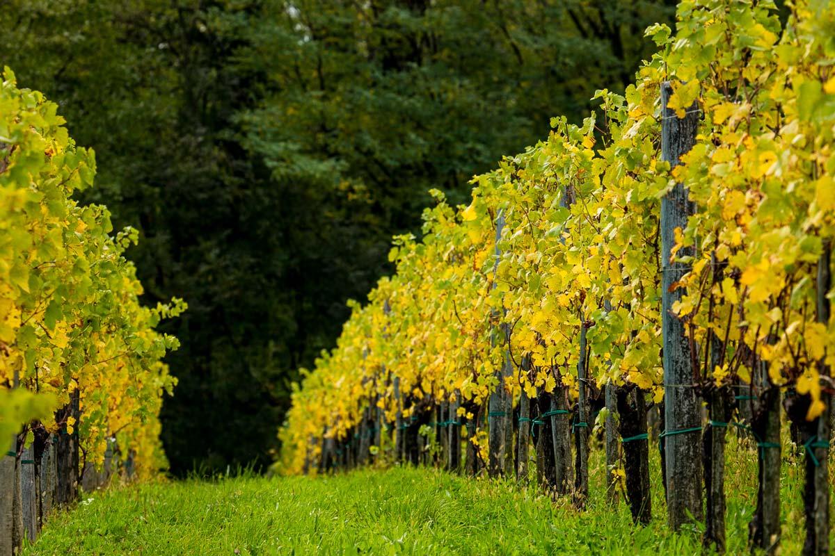 Fotografia di alcuni filari di uva