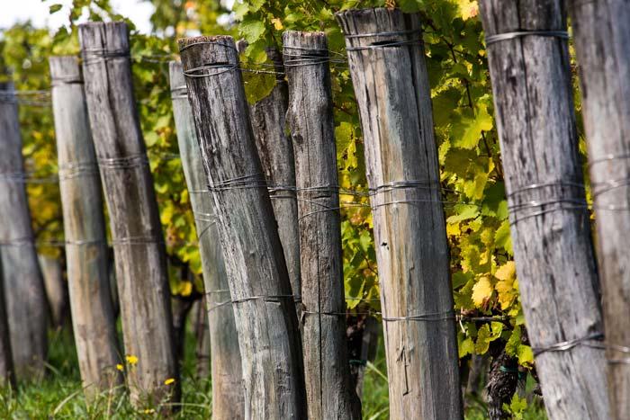 Dettaglio di un filare di viti