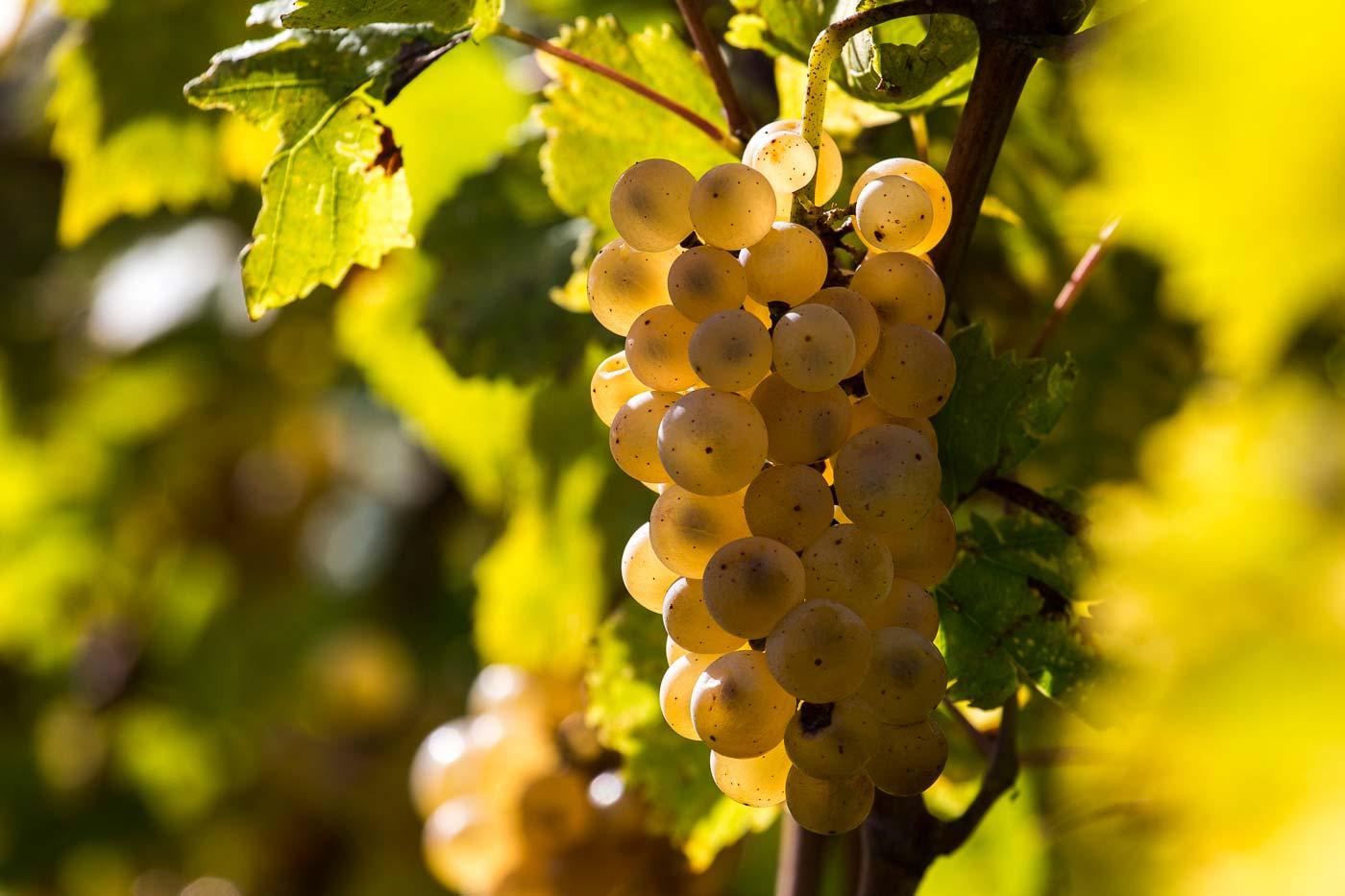 Primo piano di un grappolo di uva bianca