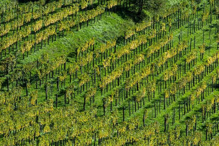 Veduta panoramica dei filari di viti